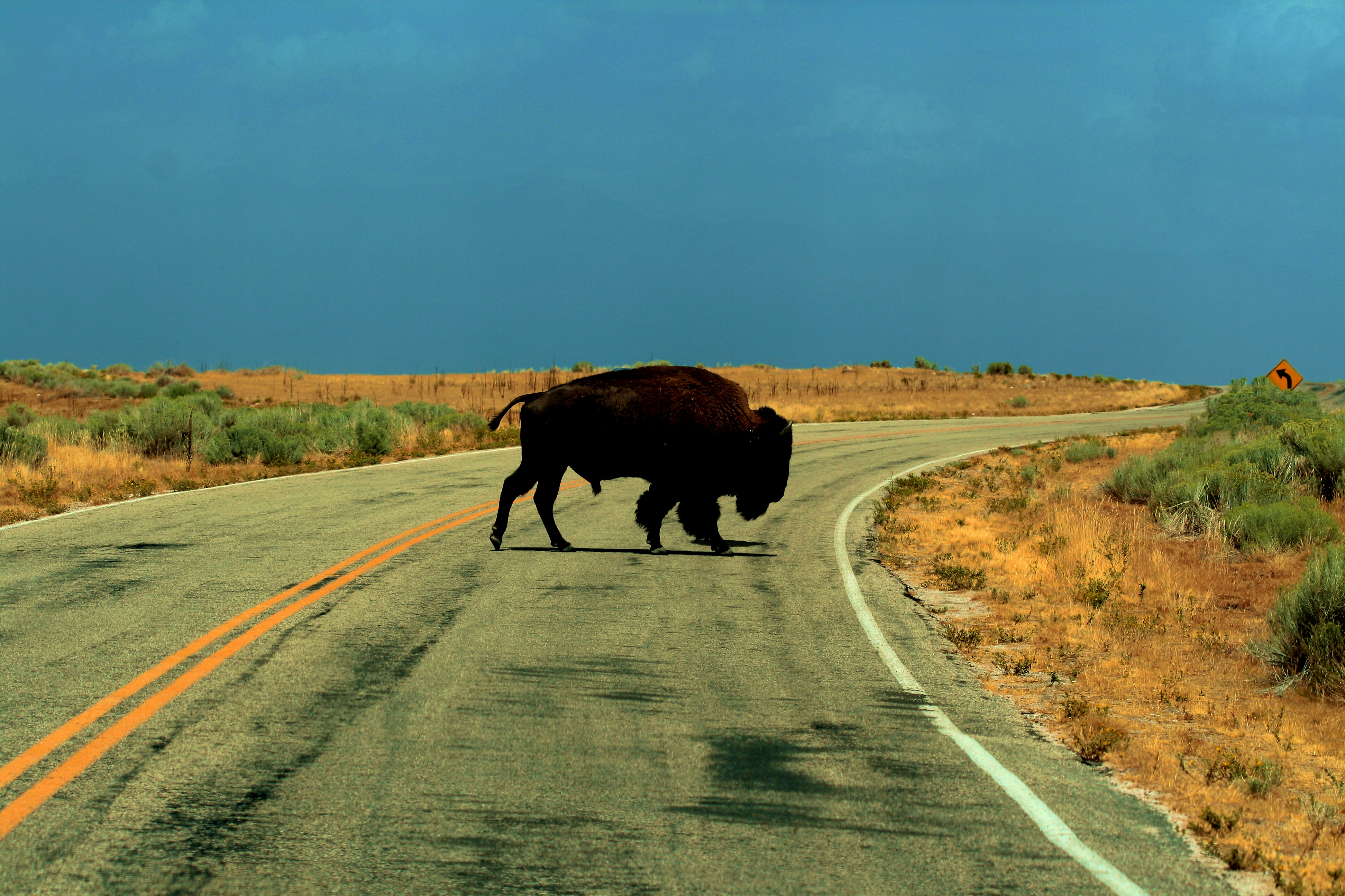 File Free American Bison Buffalo On Antelope Island Utah Creative