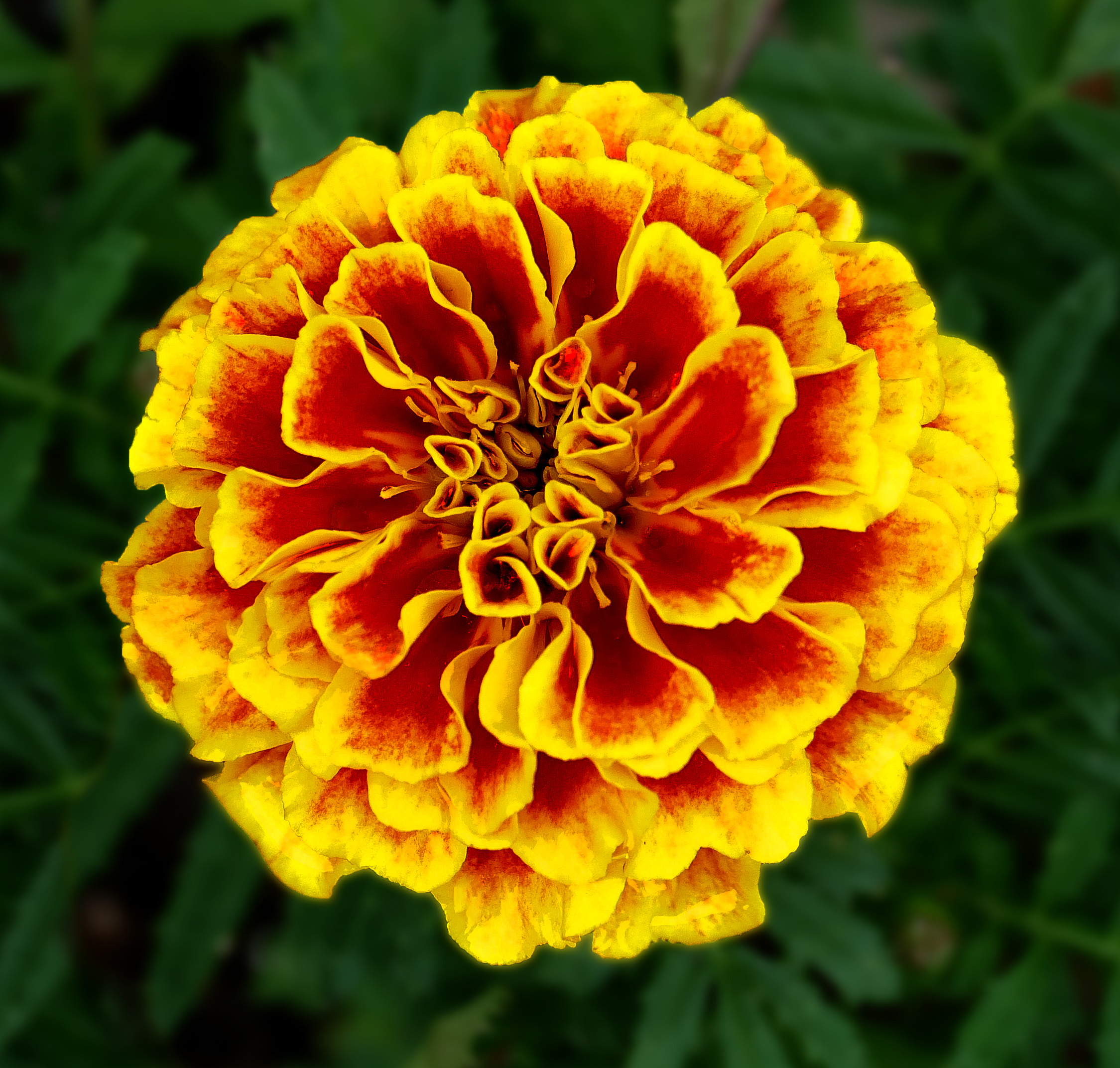 Filefrench Marigold October Birthday Flower Tagetes Patula