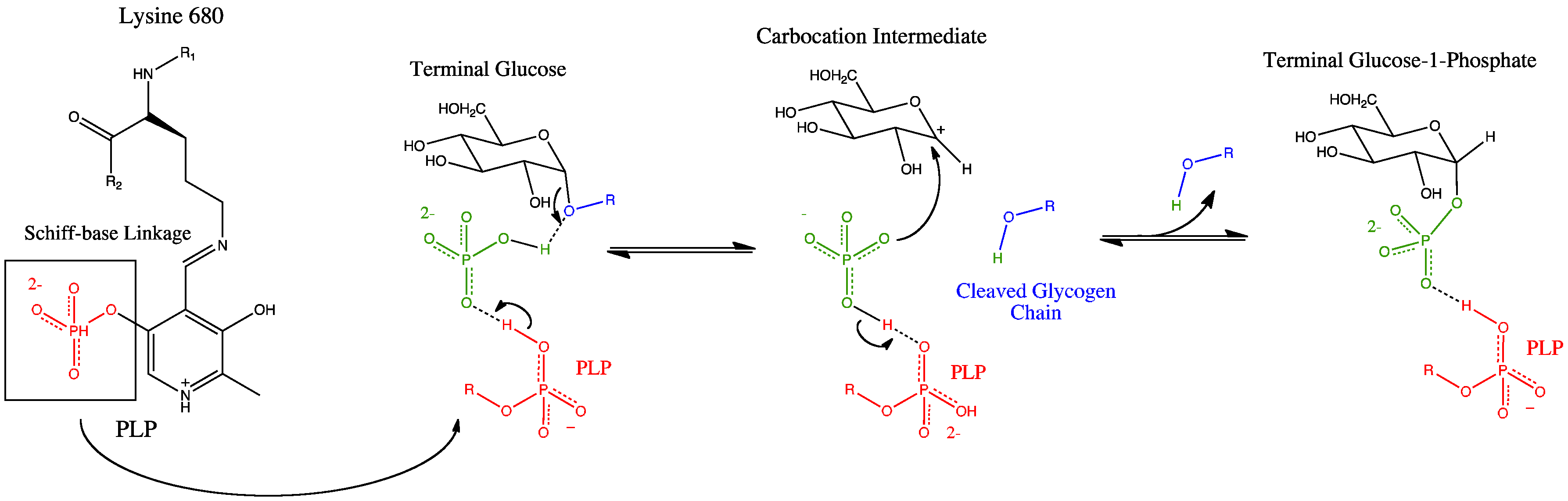 the specific substrate acted on by aldolase b during the breakdown of fructose Fructose-bisphosphate aldolase (ec 41213), often just aldolase, is an enzyme  catalyzing a  additionally, tyrosine residues are crucial to this mechanism in  acting as stabilizing hydrogen acceptors  the metabolism of free fructose in  liver exploits the ability of aldolase b to use fructose 1-phosphate as a substrate.