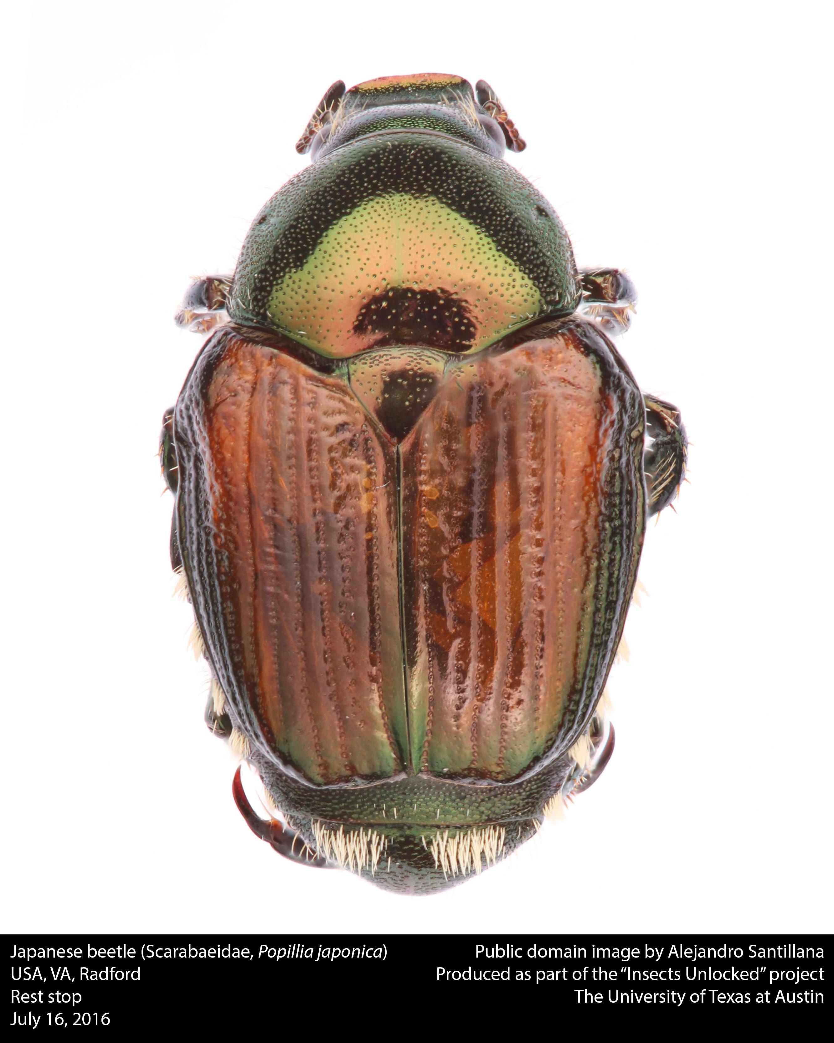 file japanese beetle scarabaeidae popillia japonica 28296517462