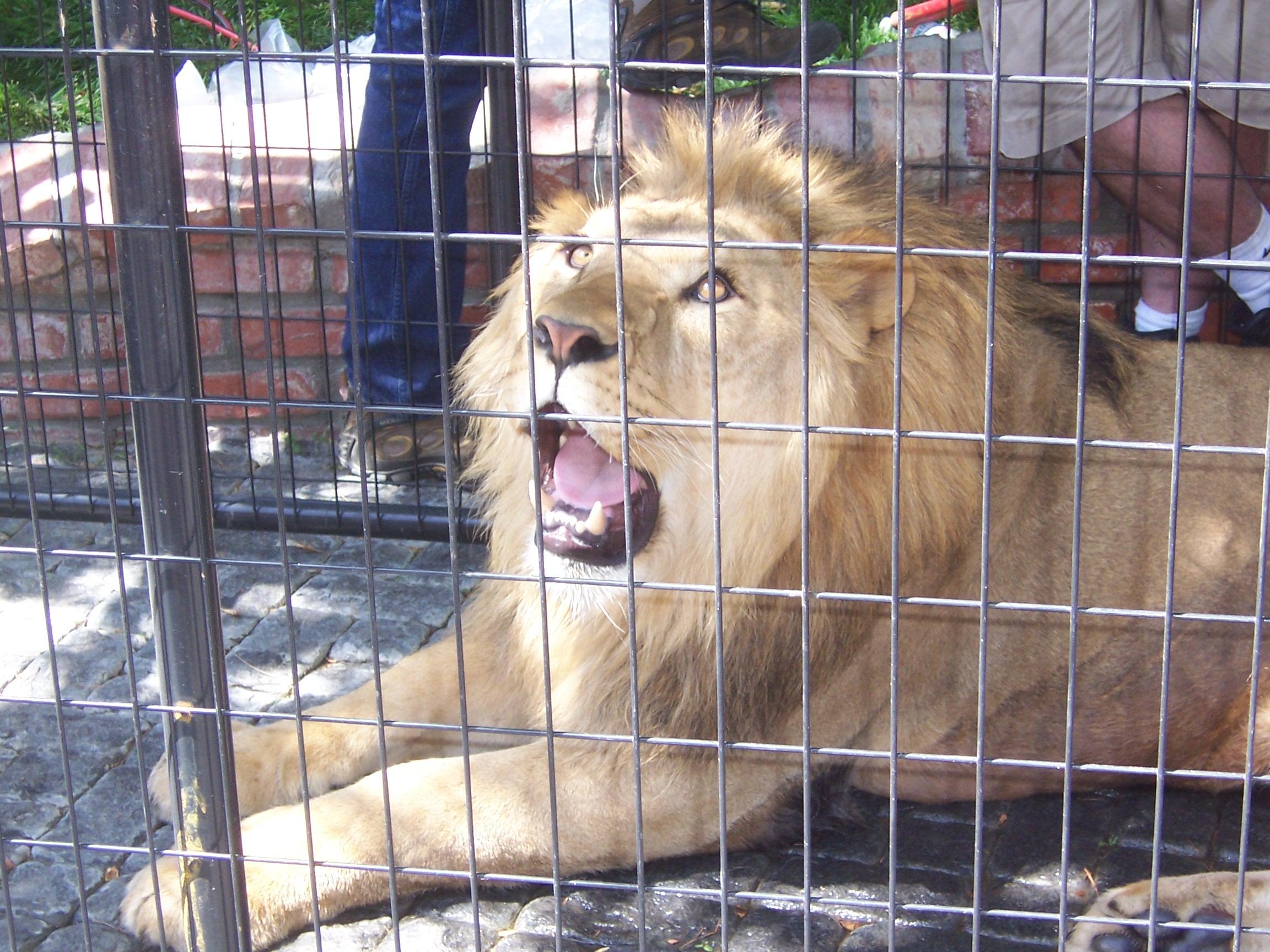Description Lion in captivity.JPG