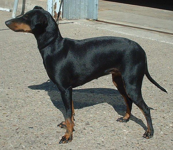 perro Manchester Terrier