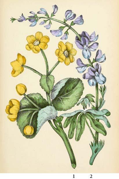 File:Marsh marigold and wild lupine.jpg - Wikimedia Commons