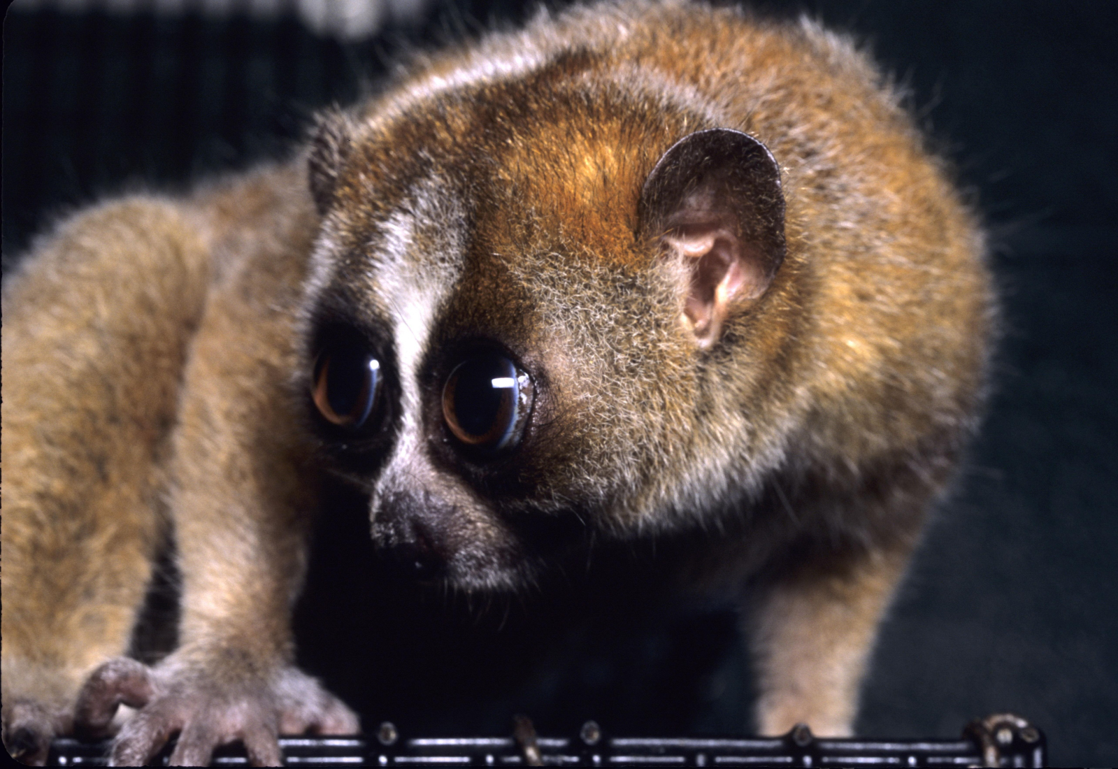 http://upload.wikimedia.org/wikipedia/commons/6/62/Nycticebus_pygmaeus_003.jpg