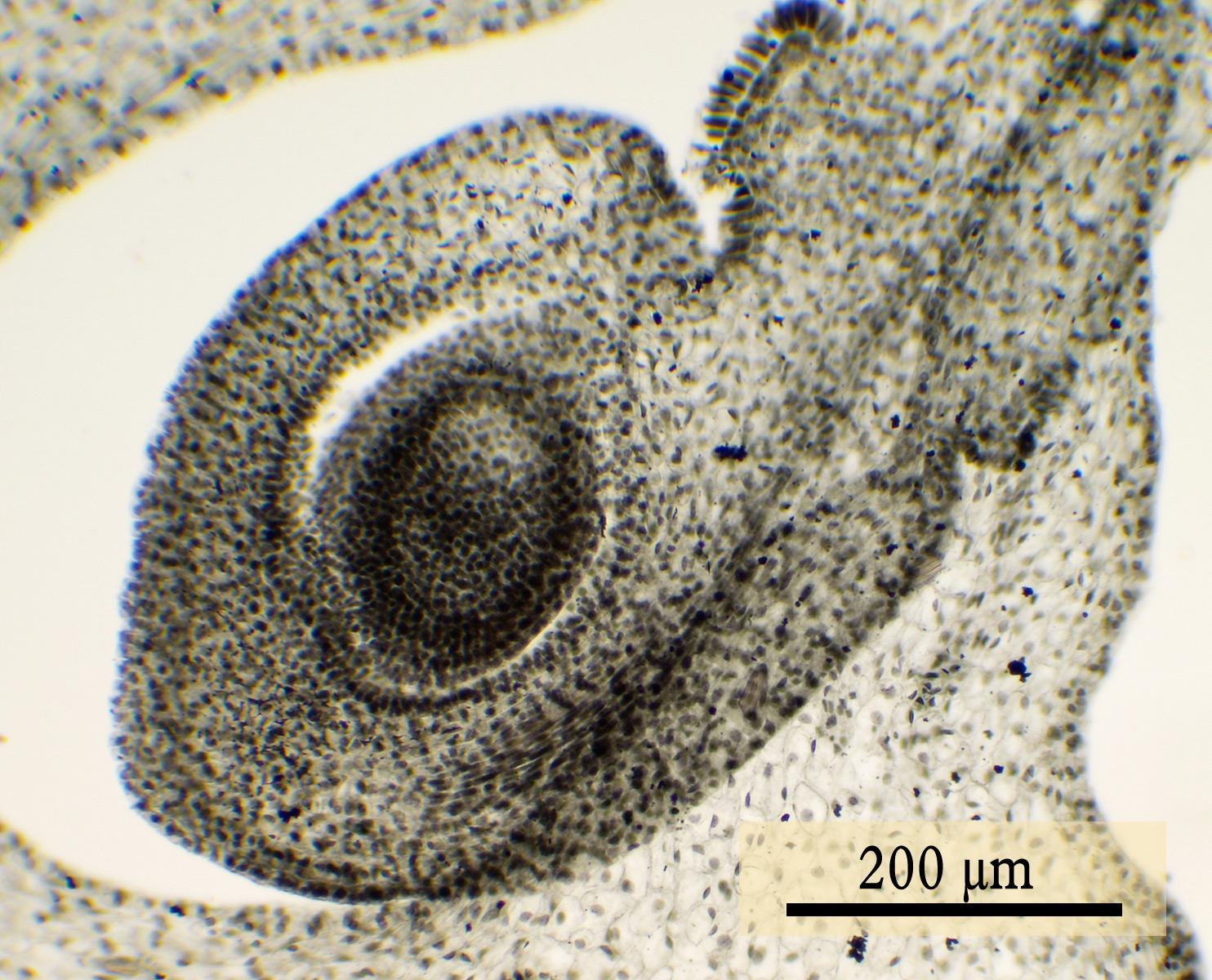 File:Ovulo 1 jpg - Wikimedia Commons