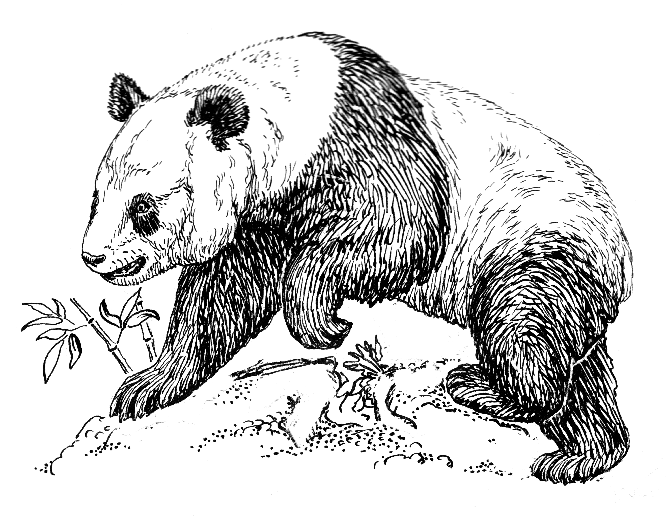 Line Drawings Of Endangered Animals : File panda psf