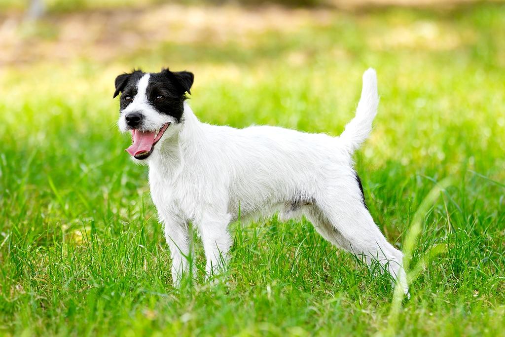 Parson russell terrier - Dog Scanner