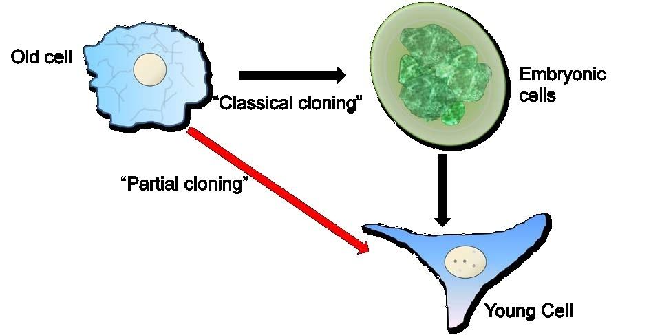 Adult cloning dna