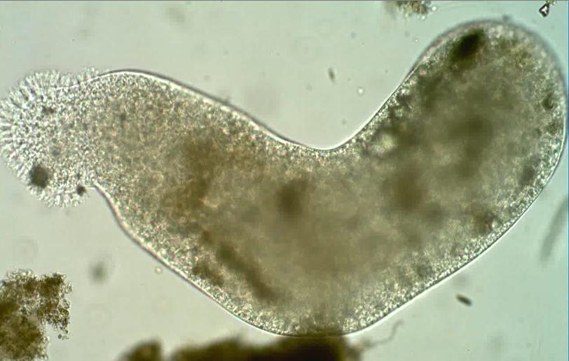 Pelomyxa  Wikipedia