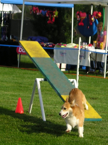 A Pembroke Welsh Corgi participating in dog agility. This particular dog is a multi-titled champion of agility, herding, and obedience.
