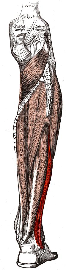 musculus fibularis brevis