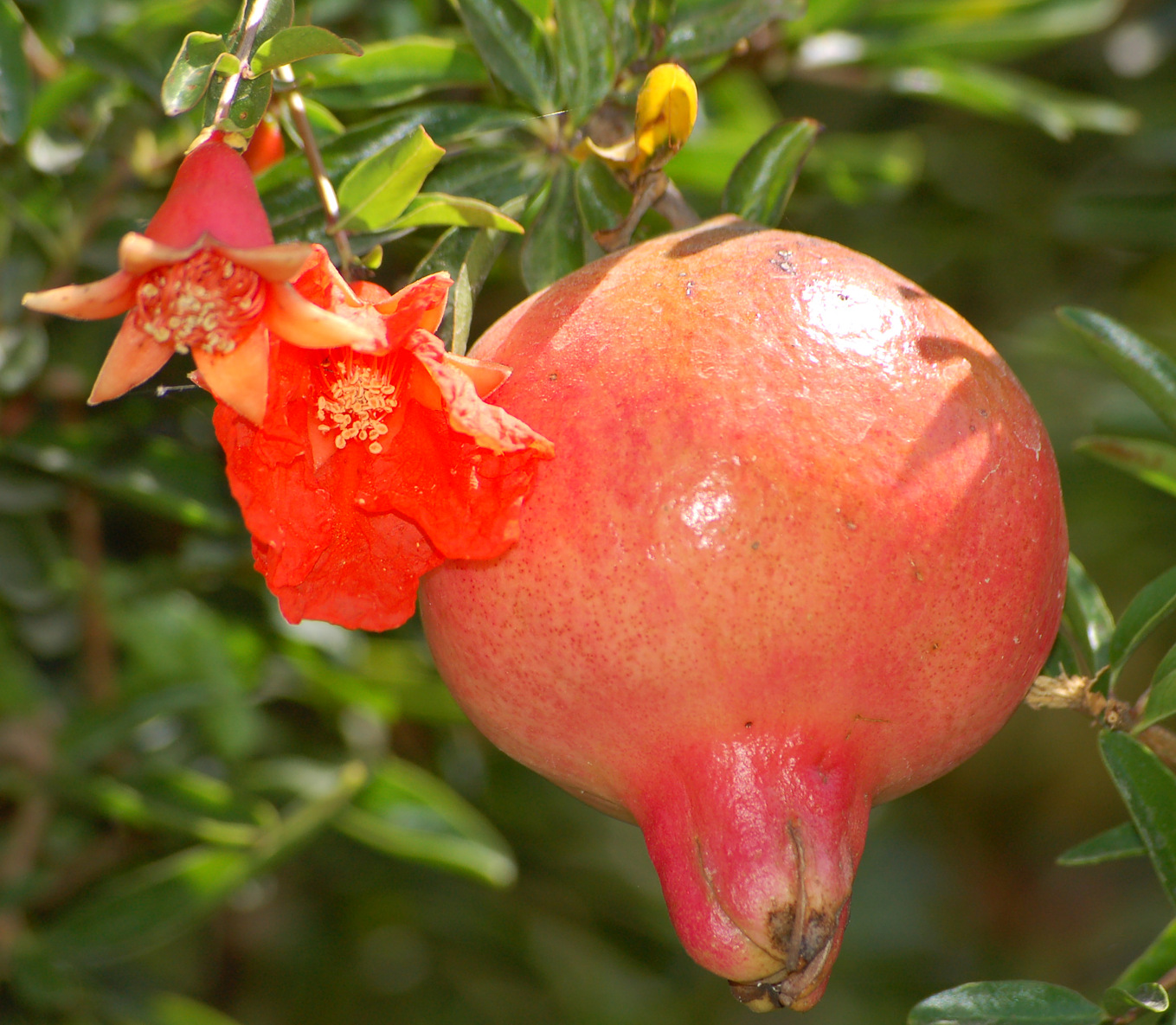 File Pomegranate flower and fruit Wikimedia mons