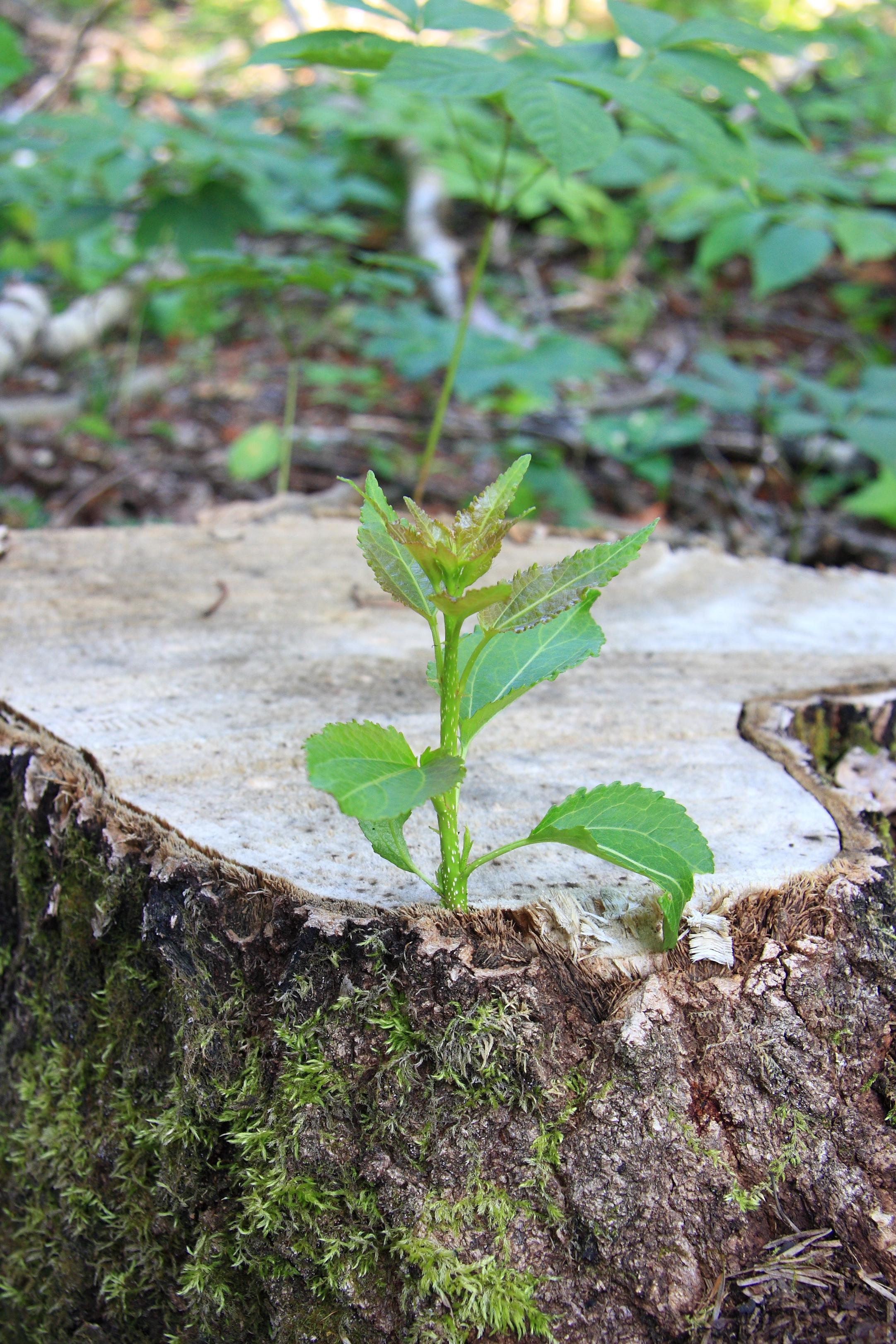 Rejet Botanique Wikipedia
