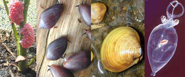 Representative groups of mollusks