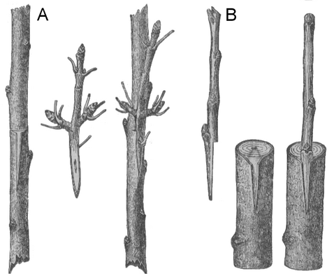 Rind grafting Gentransfer in gepfropften Pflanzen