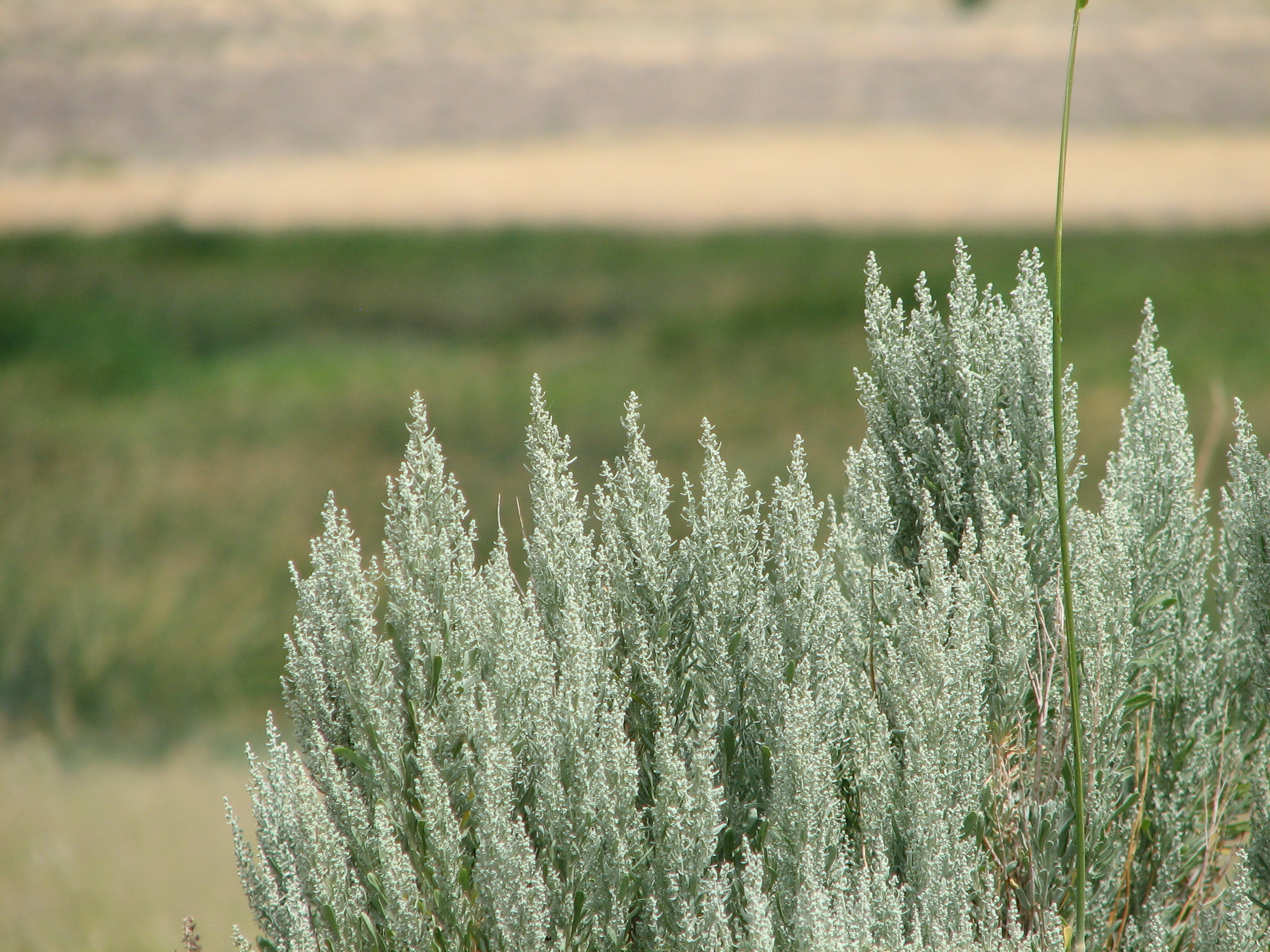 Description Sagebrush blooms.jpg