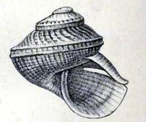 Scissurella mantelli 001.jpg