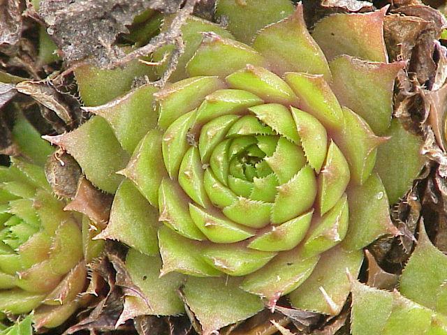 plante succulente wikiwand