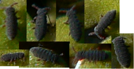 Poduromorpha order of arthropods