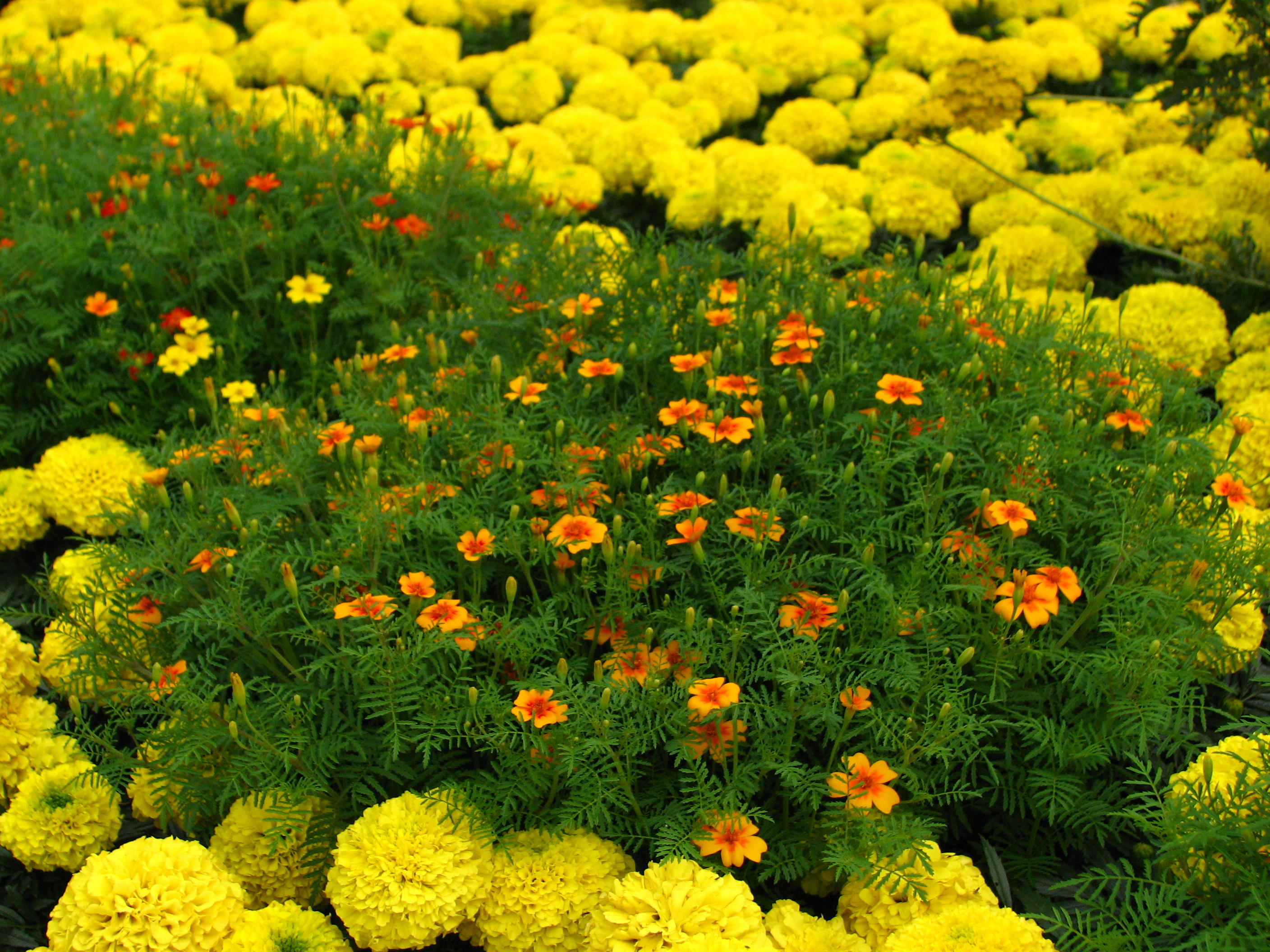 File:Tagetes in flowerbed border 02.JPG - Wikimedia Commons