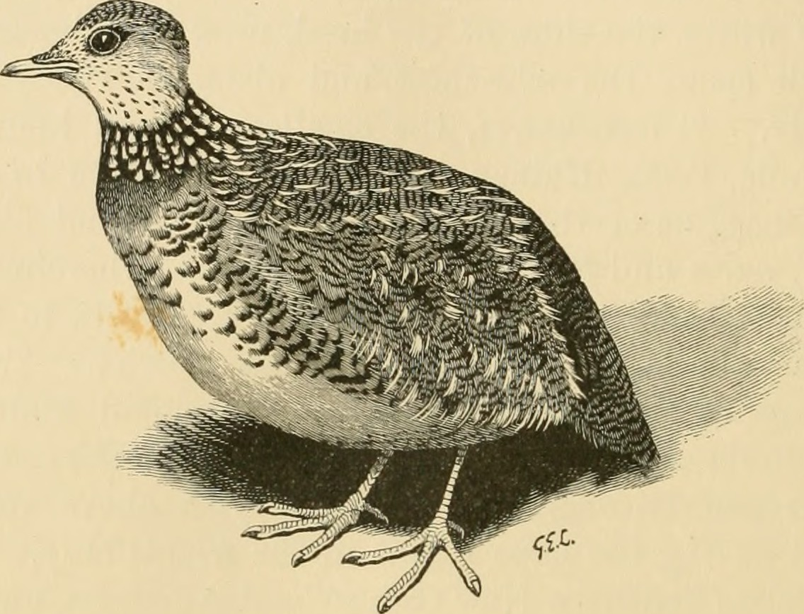 """ Pedionomus torquatus. x . chest distinguish the above sex from the male, where the collar is brown and buff. This curious bird, somewhat smaller than"