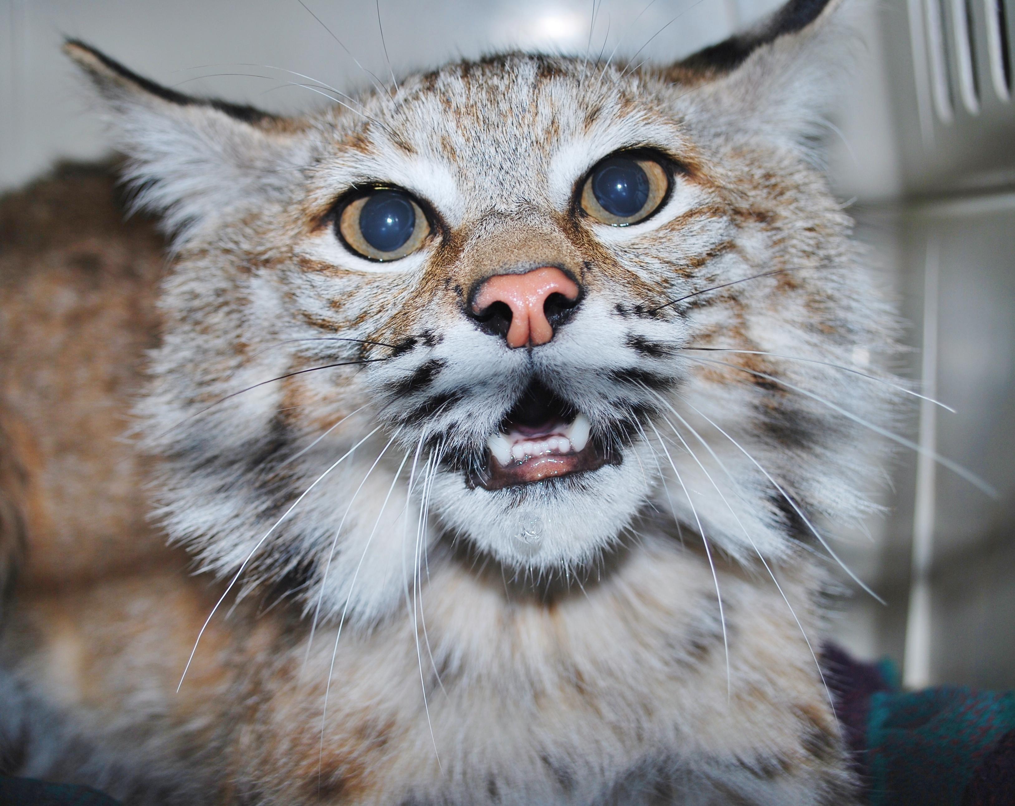Big Cat Rescue Cloecatra Cougar