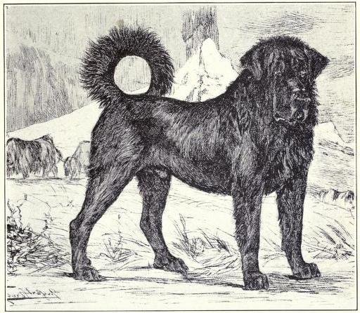 File:Tibetan Mastiff circa 1915.jpg