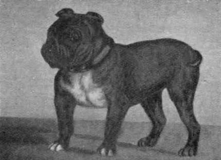 Toy Bulldog Little Knot 1903