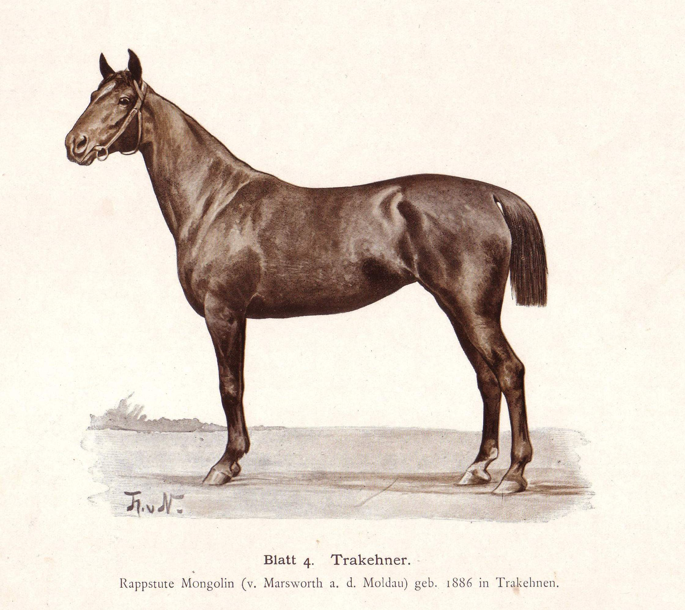 Belgian Horse pictures and information