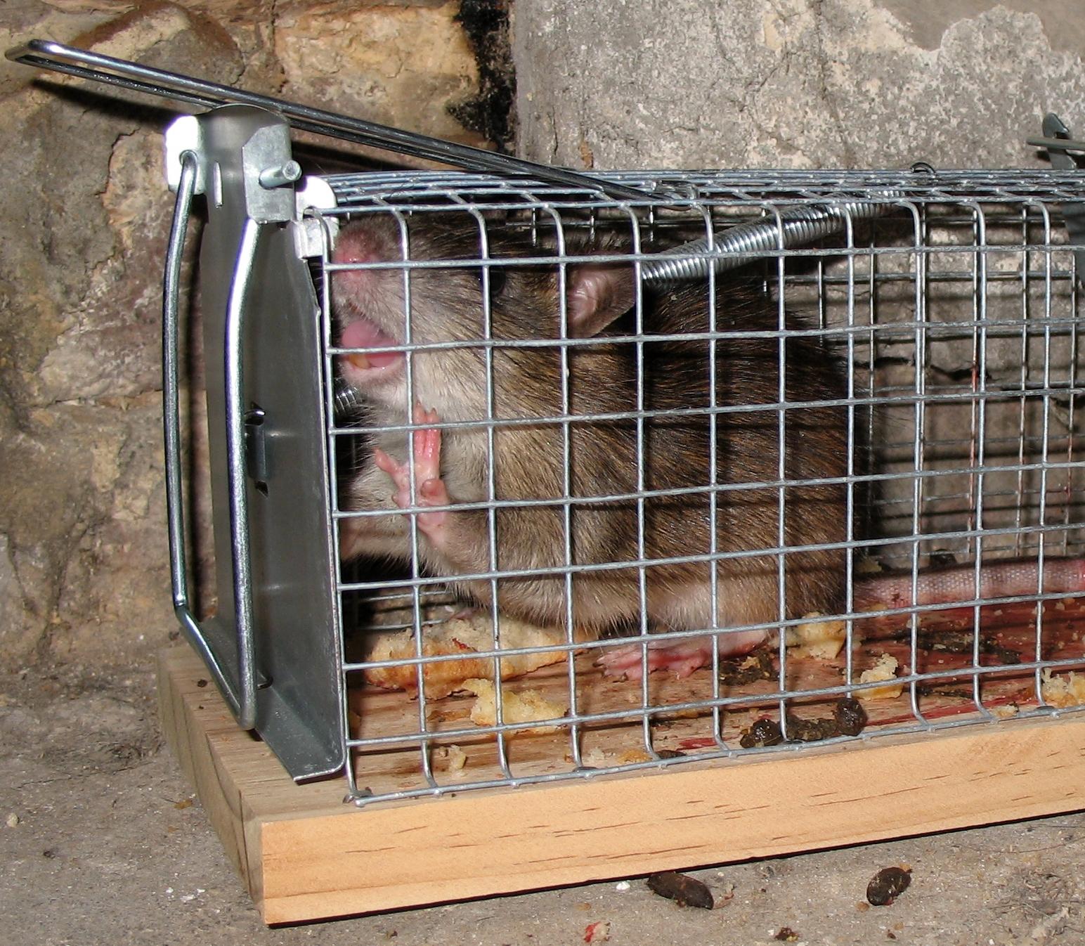 Piege A Rats Wikipedia