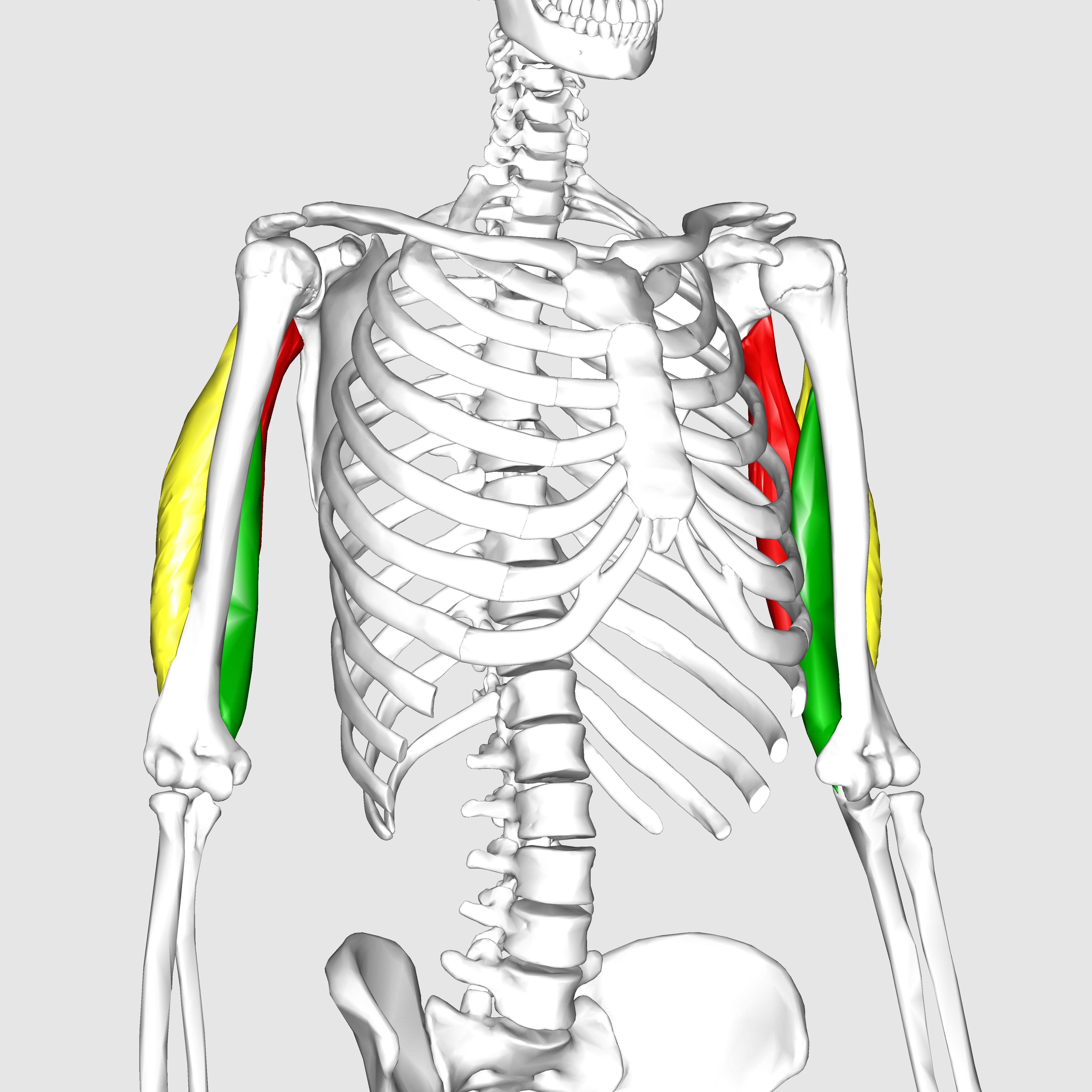 Filetriceps Brachii Muscle09g Wikimedia Commons