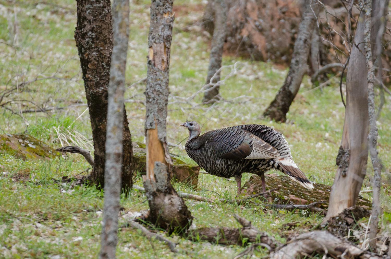 File:Wildes-truthuhn-wild-turkey-meleagris-gallopavo.jpg ...