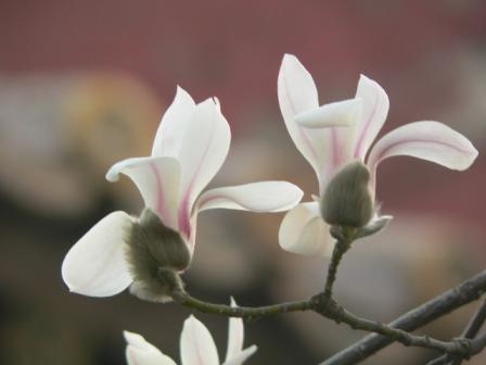 Magnolia Denudata Wikipedia