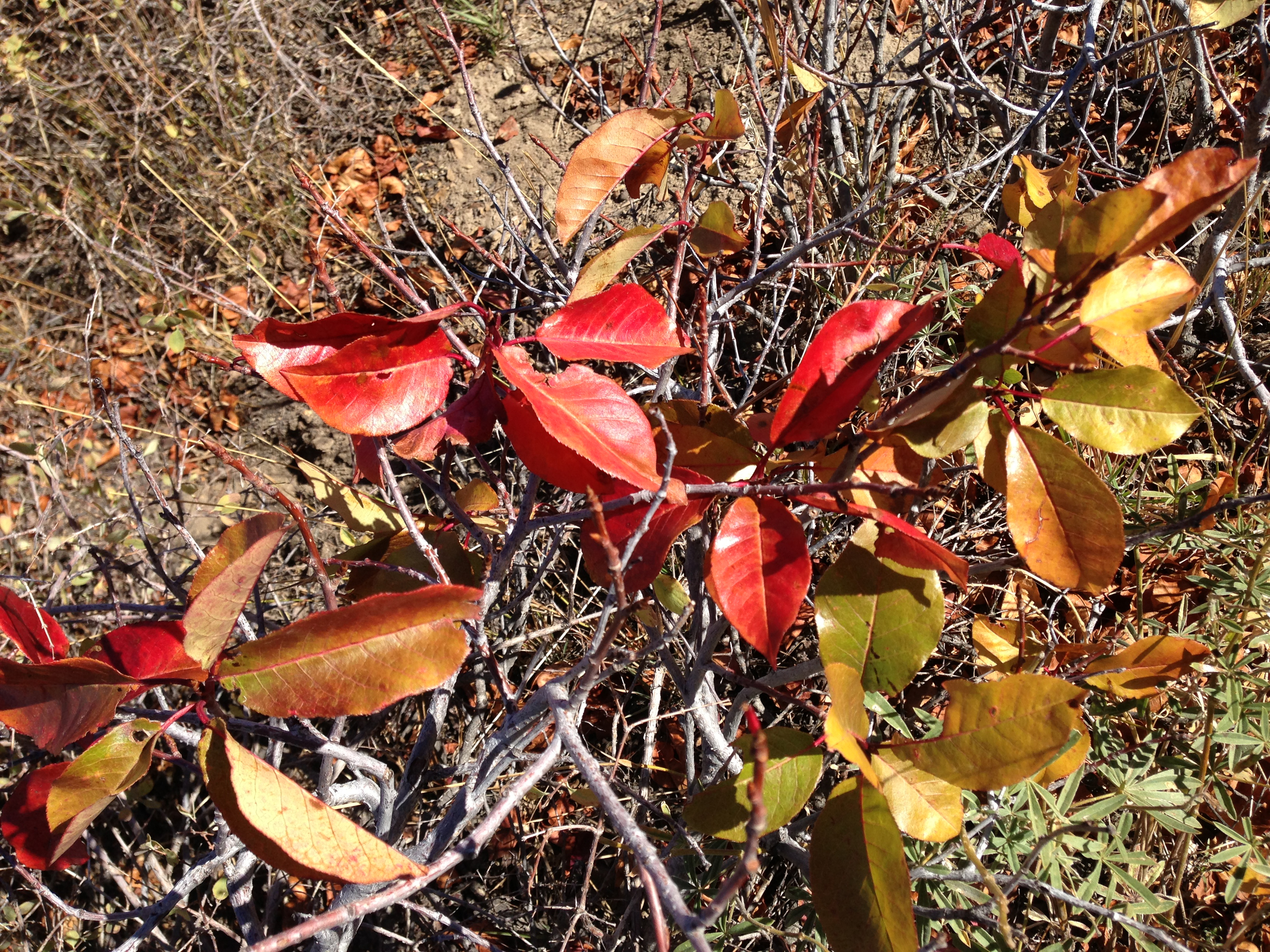 western chokecherry showing autumn foliage