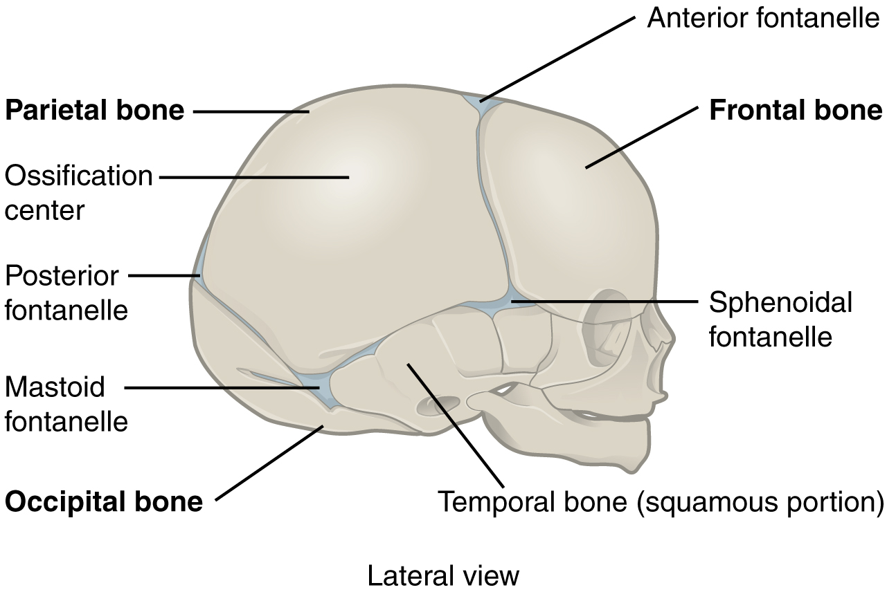 File:905 The Newborn Skull.jpg - Wikimedia Commons