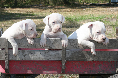File:Antebellum Bulldog Puppies.jpg