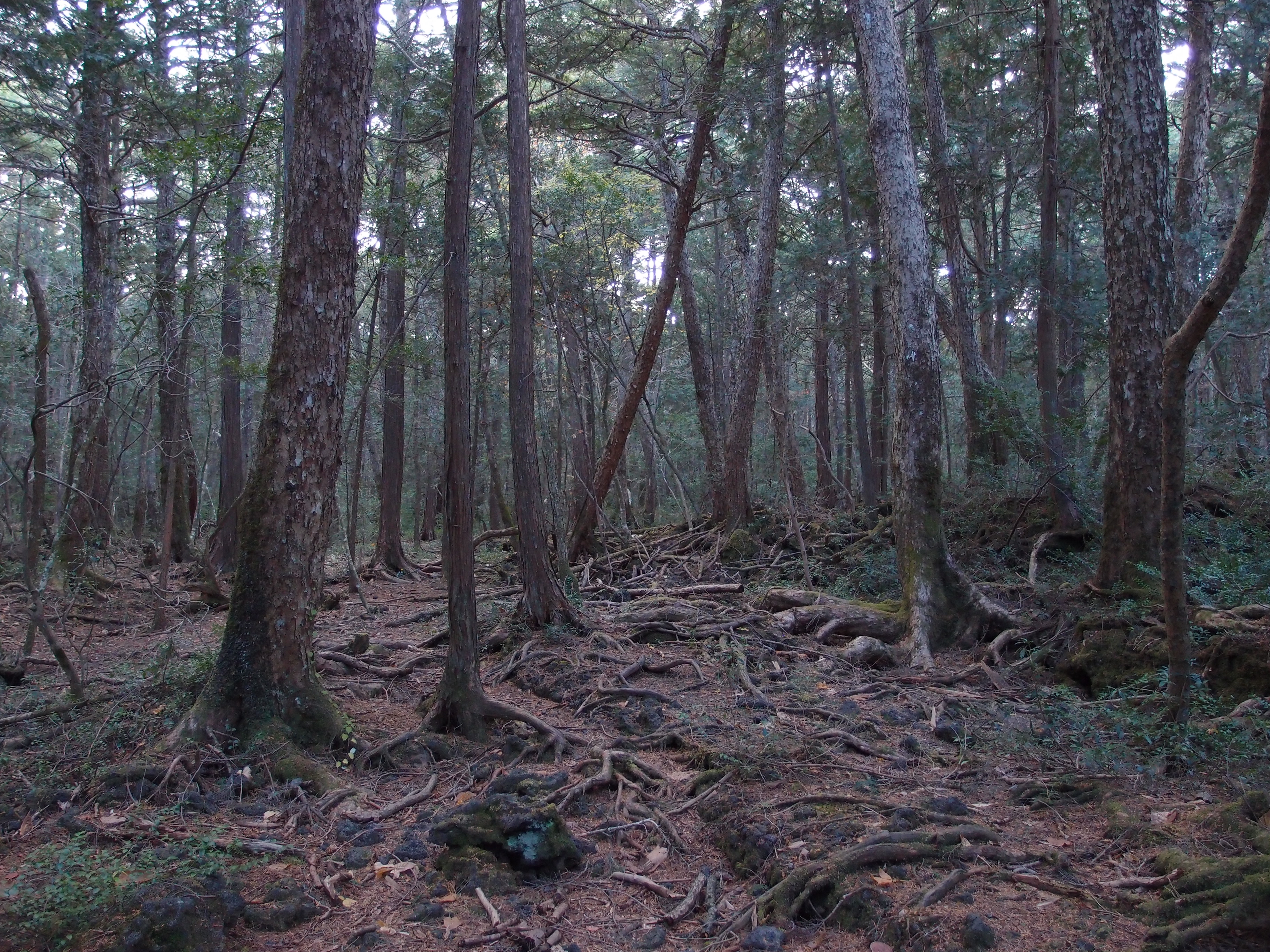 fileaokigahara forest 10863125735jpg wikimedia commons