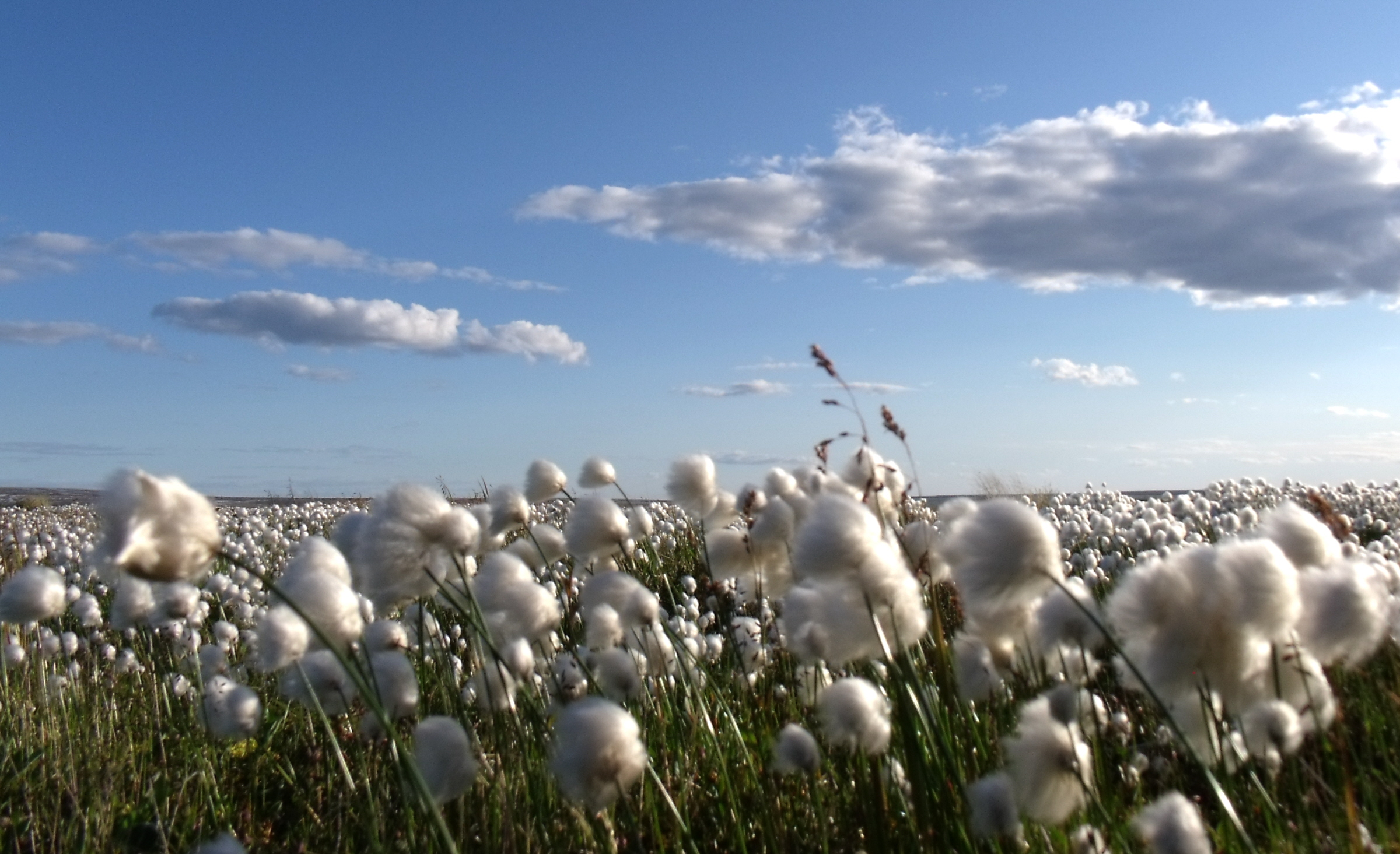 Cotton is derived from the fibers of a cotton plant and are used in the production of cotton cloth. Cotton plants thrive in warm climates, especially in the Southeast United States. Cotton is used more than any other fiber, and is the leading cash crop in the United States.