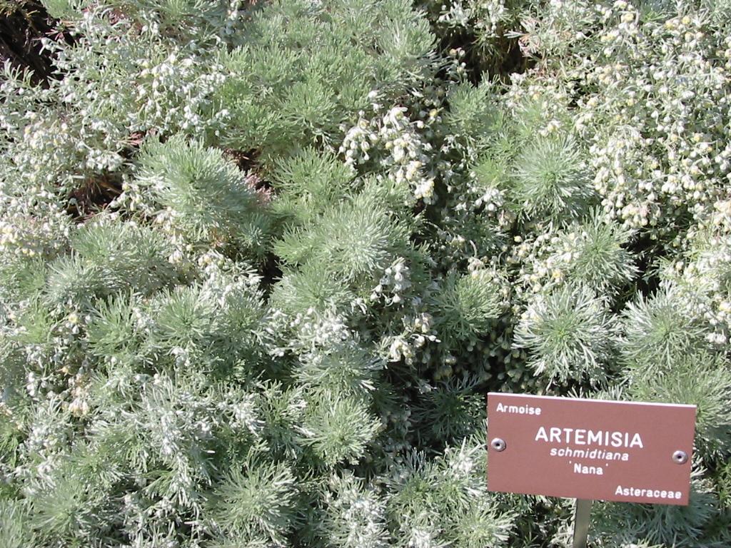 Artemisia schmidtiana ...