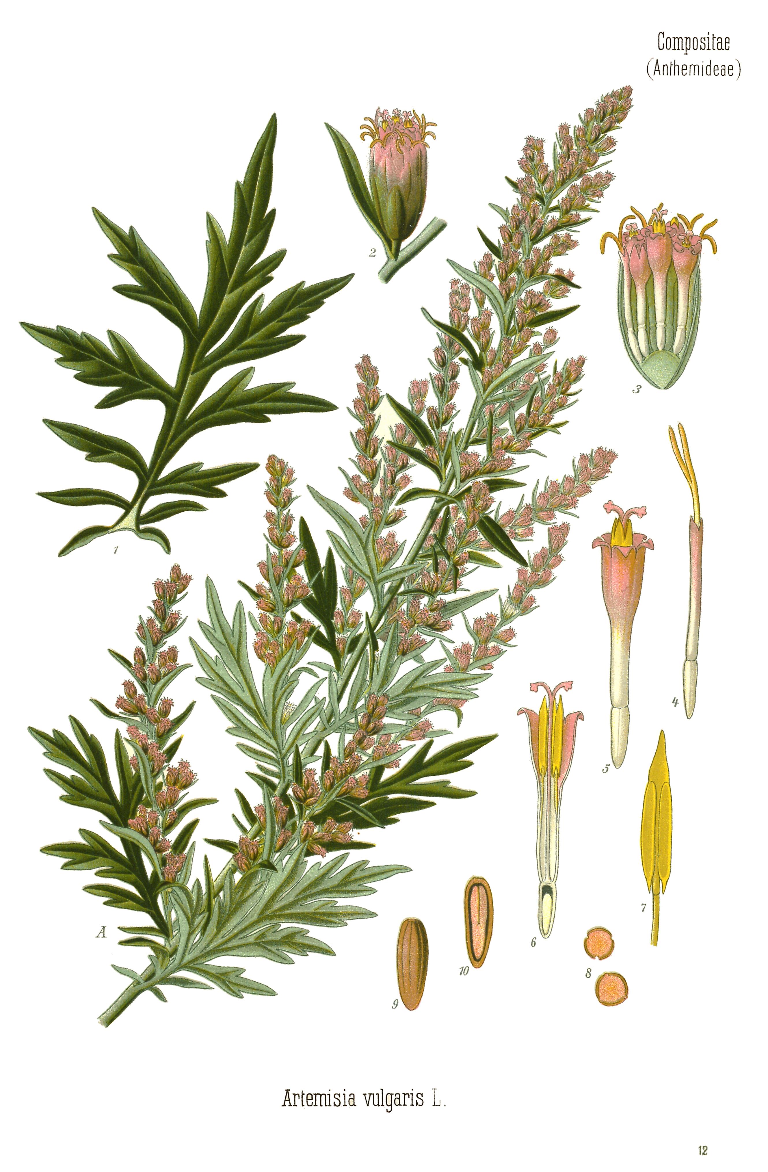 File:Artemisia vulgaris - Köhlers Medizinalpflanzen, Band 3, 1898 ...