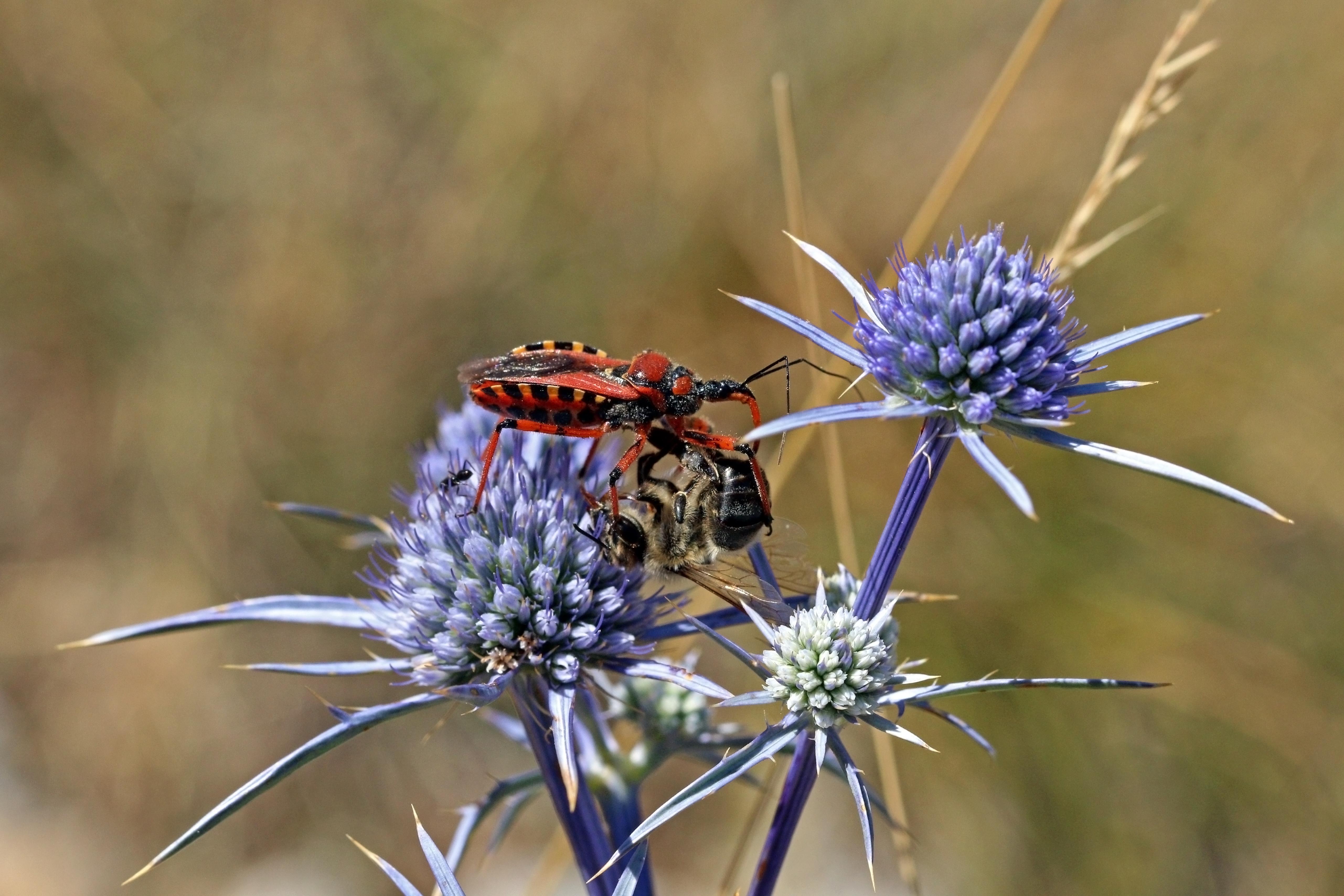 Reduviidae - Wikipedia