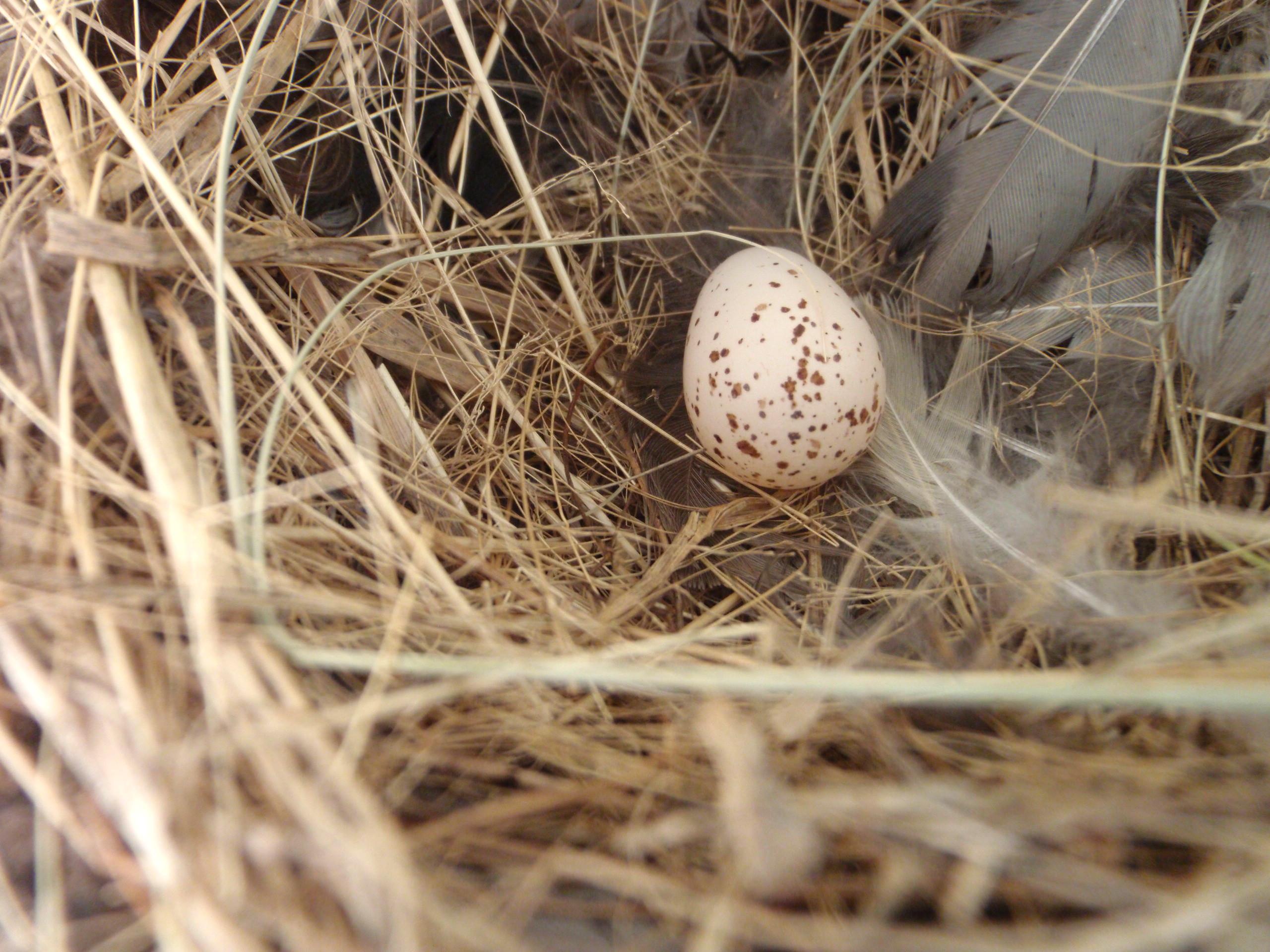 File Barn Swallow Hirundo Rustica Nest Single Egg Jpg