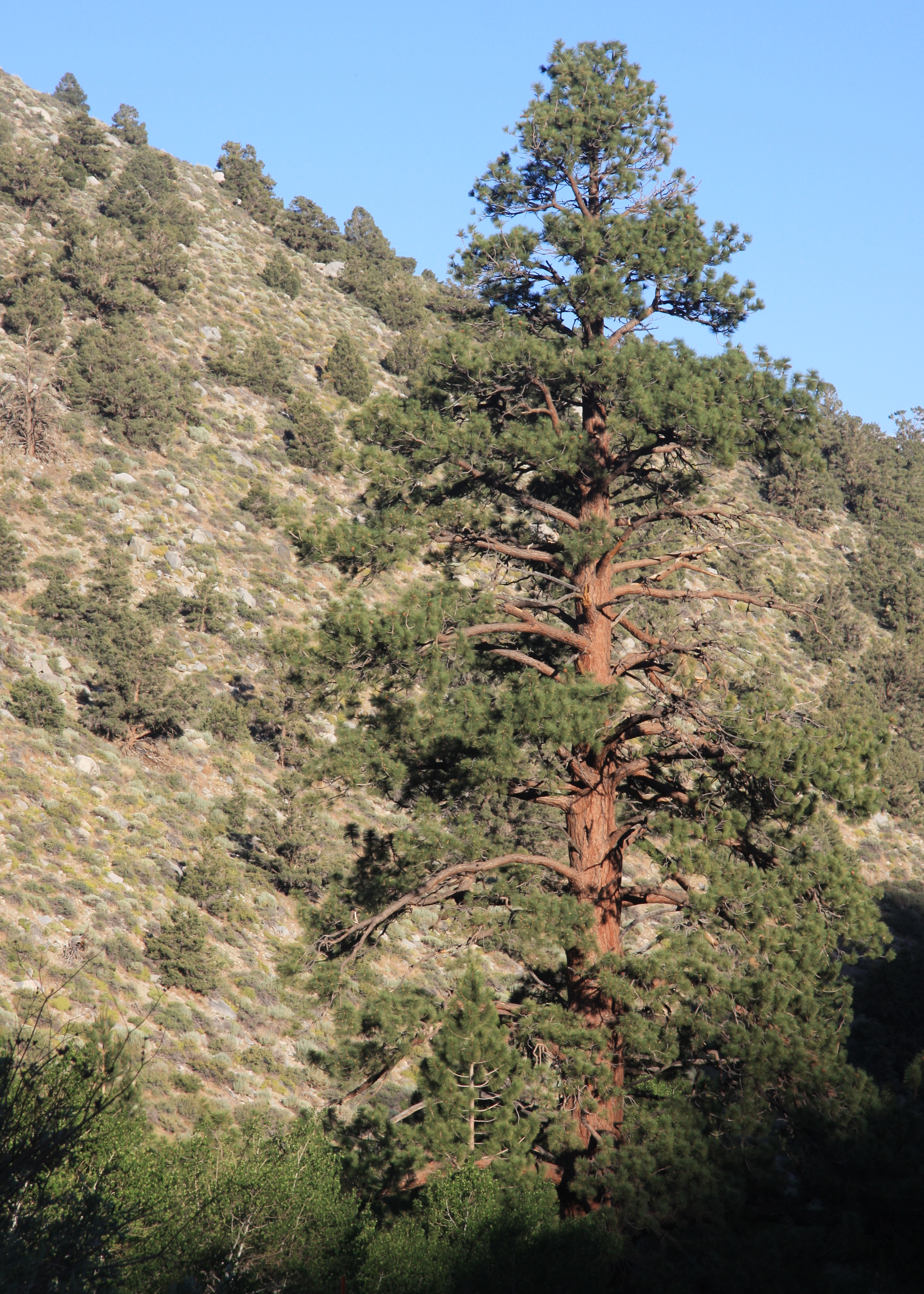 Big pinus photo