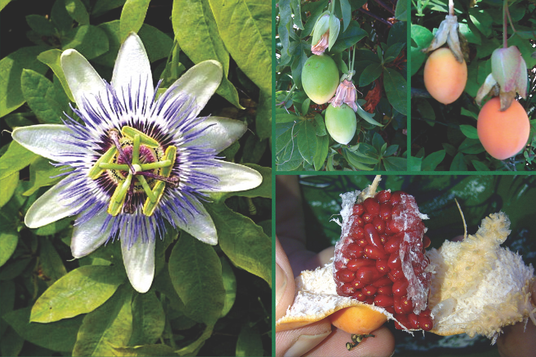 Passionflower and Passion Fruit Natural Herbal Remedy and Its Sacred Symbol