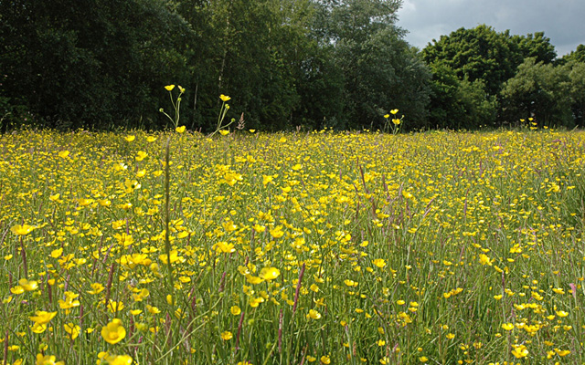 Buttercup Meadow at Orrell Water Park - geograph.org.uk - 928512