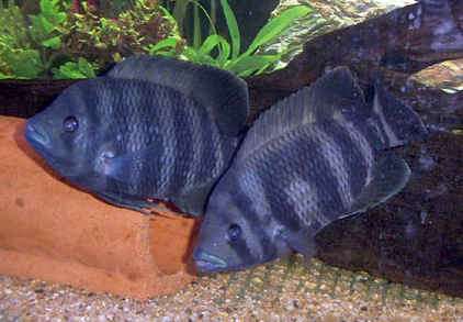 Tilapiine cichlid wikipedia for Tilapia aquarium