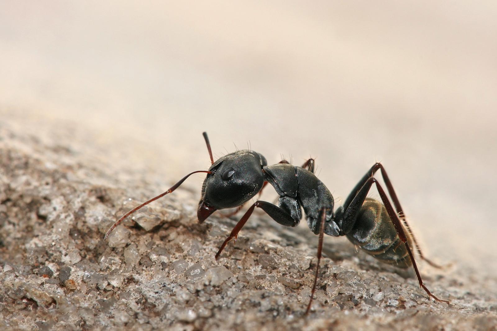 hormiga habitat: