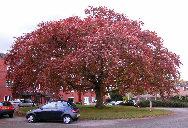 File Copper Beech Tree Woodhey Court Alma Road Geograph Org Uk 44109 Jpg