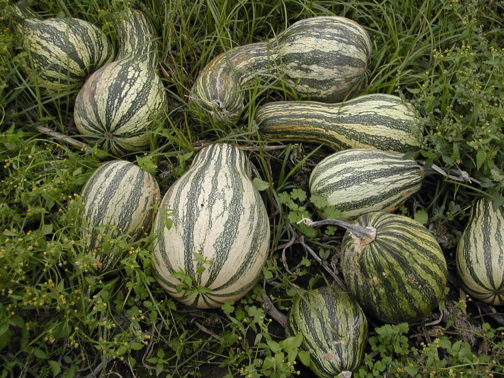 File:Cucurbita argyrosperma mature fruits.jpg - Wikimedia Commons