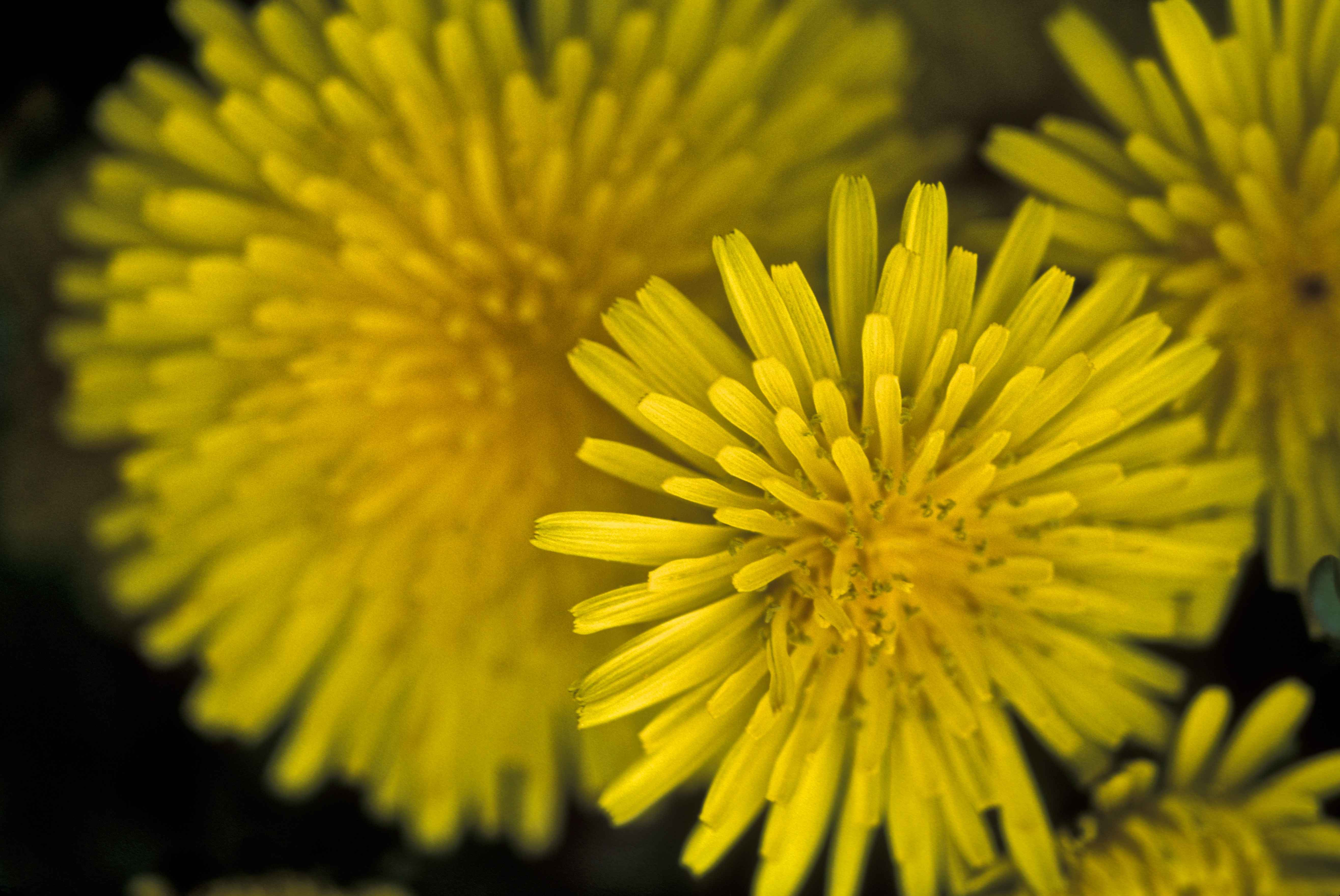 File Dandelion Flower Macro Taraxacum Officinale Jpg